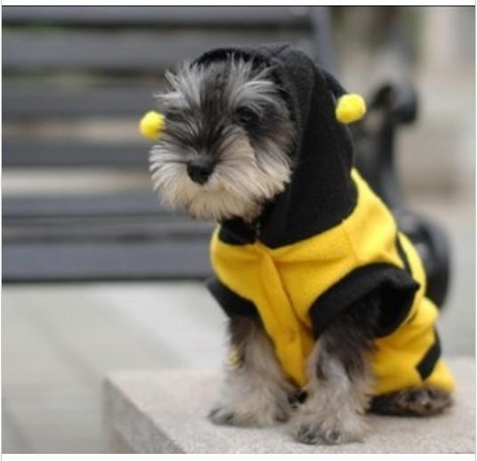 Koiran vaate, ampiainen